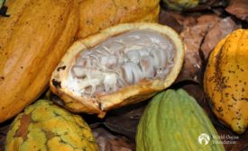 Open cocoa pods