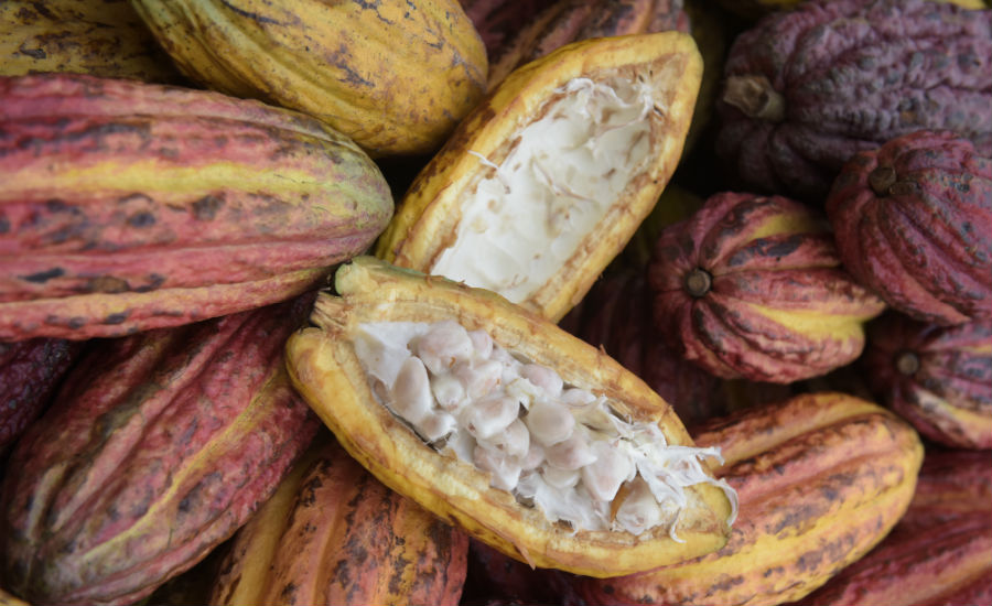 Ritter cocoa pods