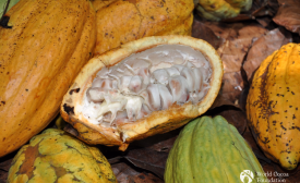 Cocoa pods WCF